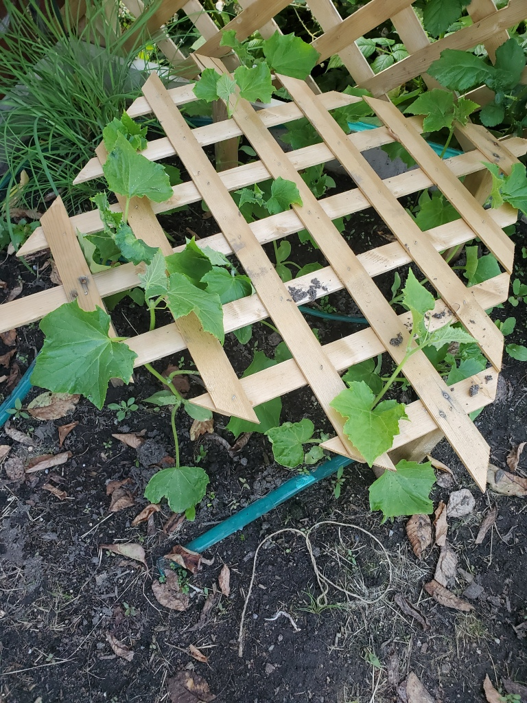 2x2 trellis built 1' off the ground, parallels with the dirt, new cucumber leaves poking through.