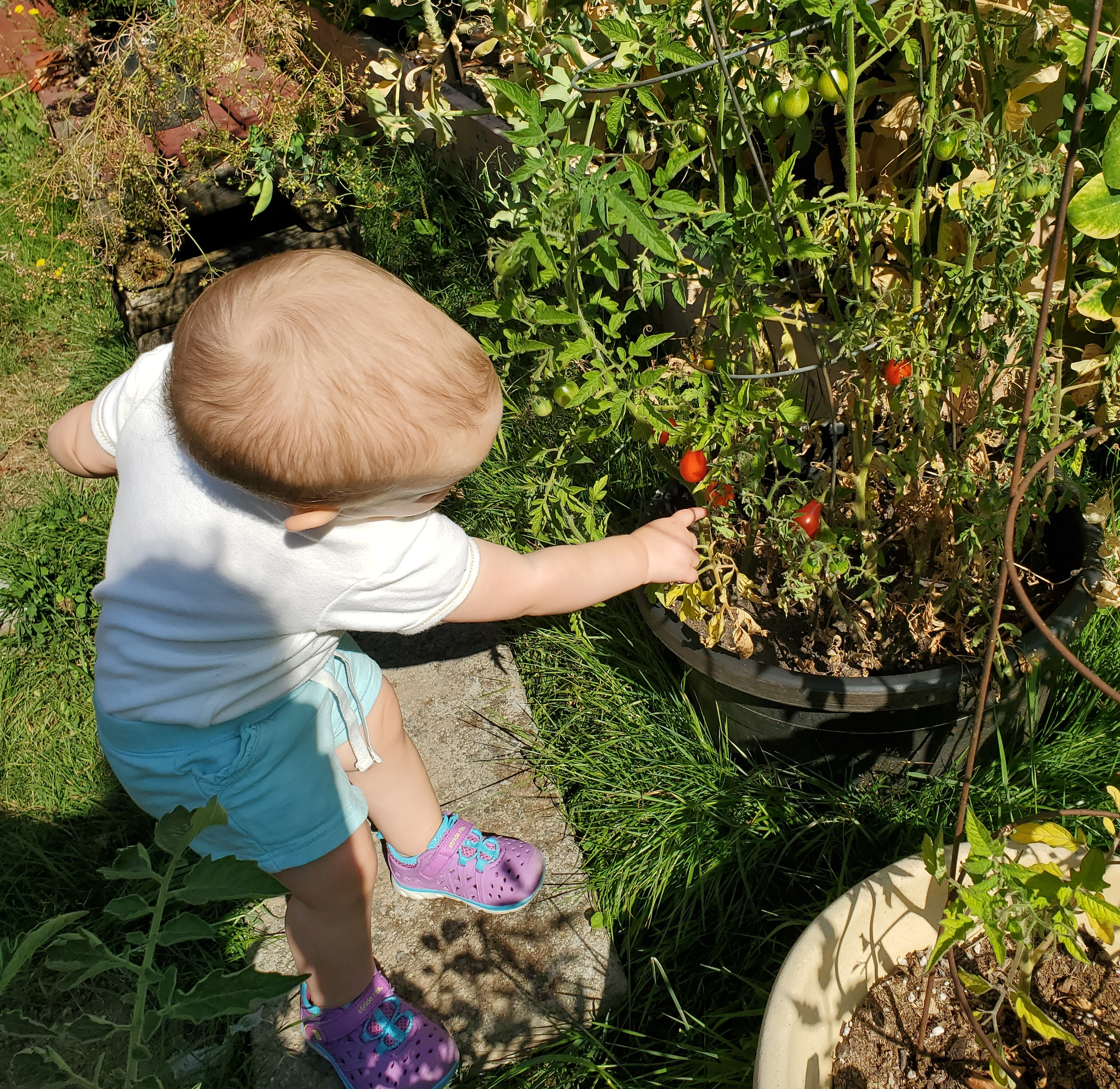 one year old picking cherry tomatoes off a plant in a pot