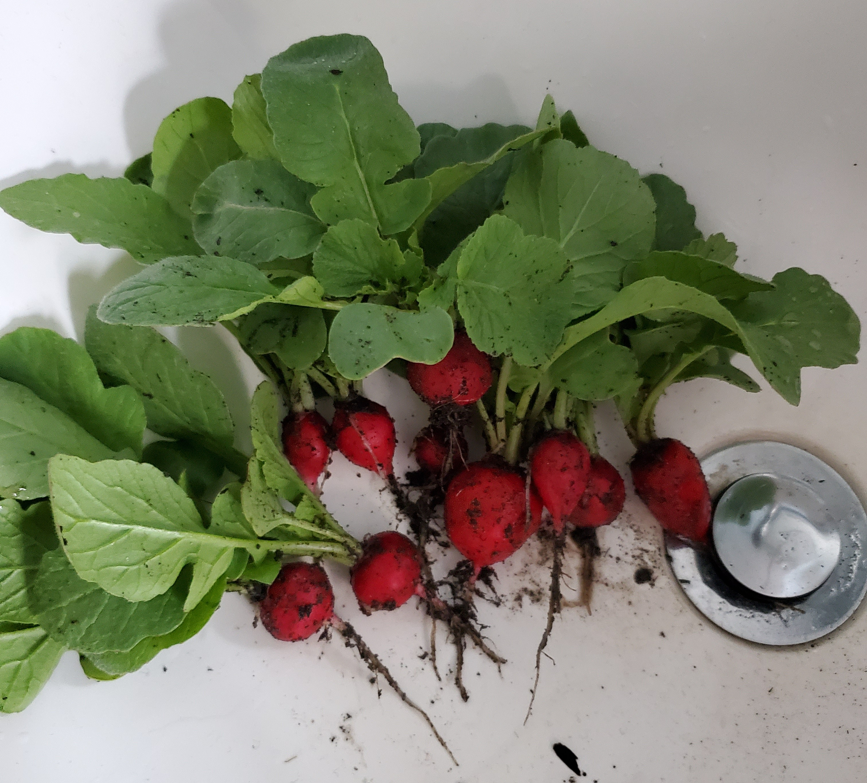 10 dirty, just pulled radishes sitting in a sink